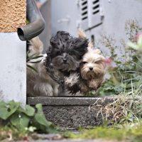 Die Bolonka Hunde von Z¸chterin Claudia Pfister, aufgenommen am 06. November 2018 in Winterthur.© Michele Limina